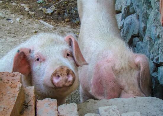 北京:门头沟养殖合作社 最关注恢复生猪养殖