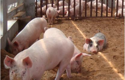 2月9日全国生猪价格土杂猪报价表,今日土杂猪价高位运行!