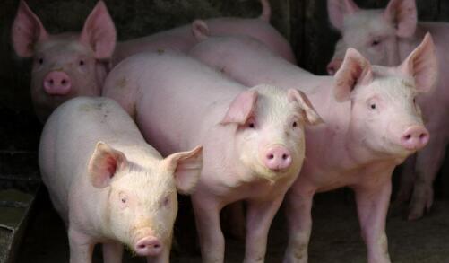 河南鹿邑县:把恢复生猪生产放在更重要位置