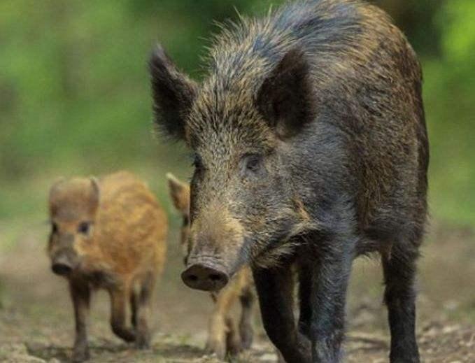 韩国野猪感染非洲猪瘟病例增至169例 将展开彻底搜查