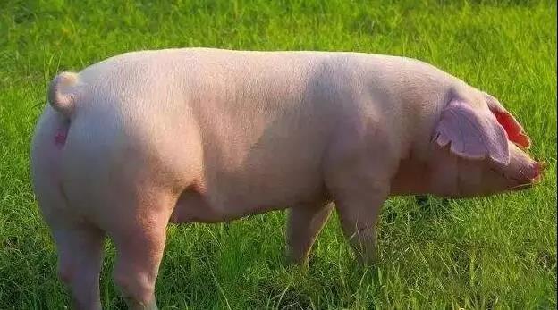 猪场返情率居高不下,你真的知道原因吗?境污染治理!