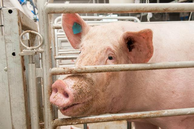 盘点:引发猪呕吐和厌食的因素有哪些?