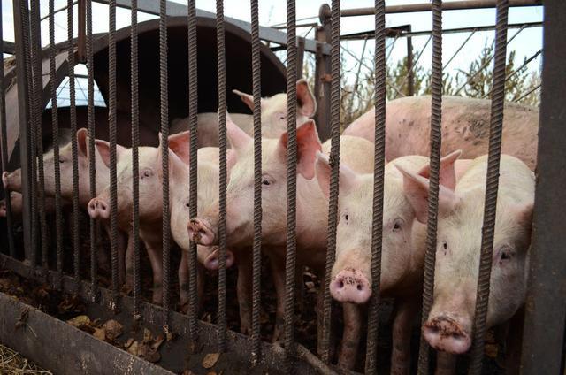 新冠肺炎疫情当前,养猪业面临的3大难题