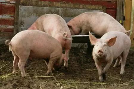 非瘟没有停止!因用剩饭喂猪,巴厘岛爆发非瘟!希腊发现首例