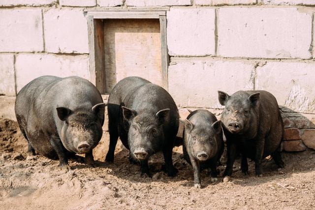 2月10日猪价:涨不停,2月均价能破40元?看完再说结论不迟