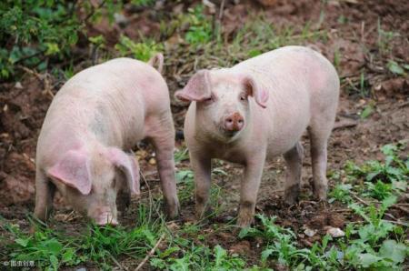 2月10日全国生猪价格土杂猪报价表,华北地区涨势良好今日一片飘红