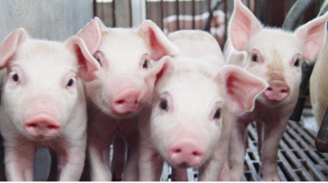 龙大肉食全资子公司龙大养殖2020年1月份销售生猪1.15万头 环比下降9.45%