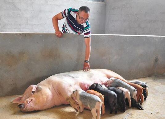 仔猪出生后,想要提高成活率,这5点一定要做到位