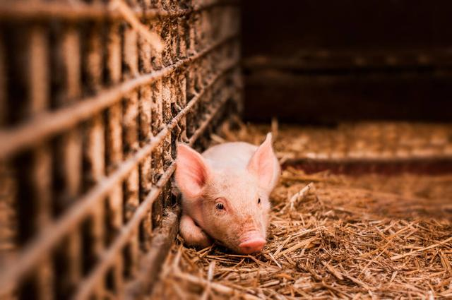 春季仔猪下痢5大因素?如何采取防控措施?