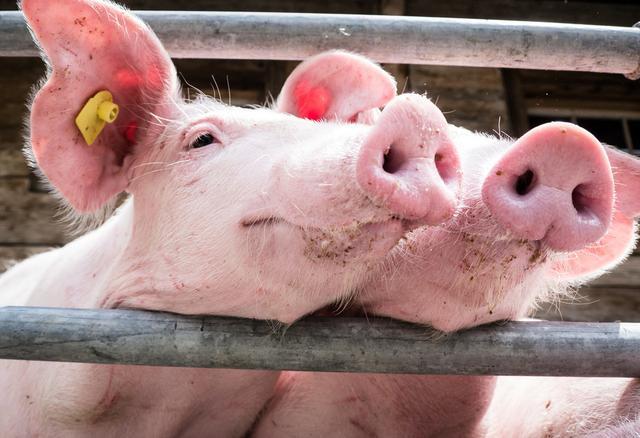 从各大猪企1月生猪销量大降看年后猪价上涨,缺猪仍将继续