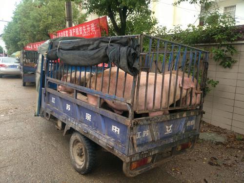 """湖北养殖业""""围城"""",猪在瘟疫蔓延时"""