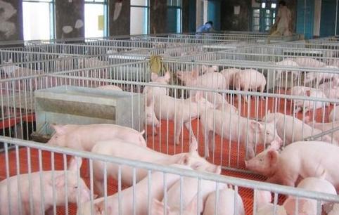 养猪要会自己调整饲料配方