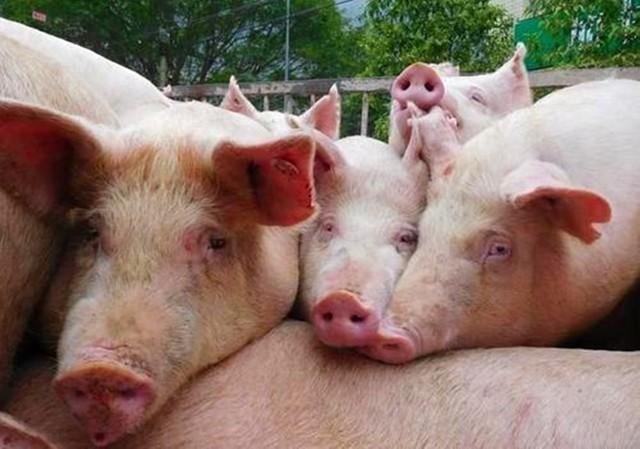 """疫情期间猪价""""压不住"""" 养殖户有猪就是赢家"""