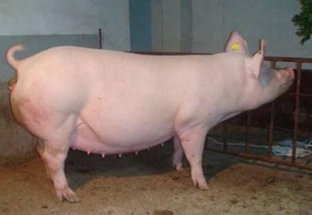 如何帮助母猪顺产?顺产应该要注意什么?