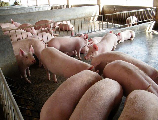 猪价大涨,疫情之下迎来补栏旺季,养猪户引种常见4大误区要重视