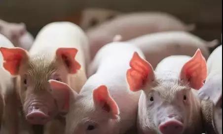多只猪肉概念股飘红,超强猪周期或将延长