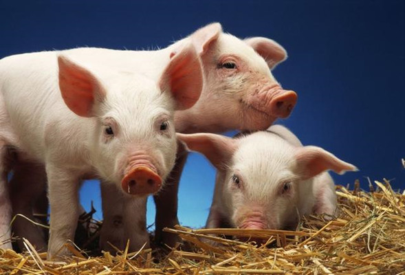 猪场中育肥猪的营养需要及饲养管理措施