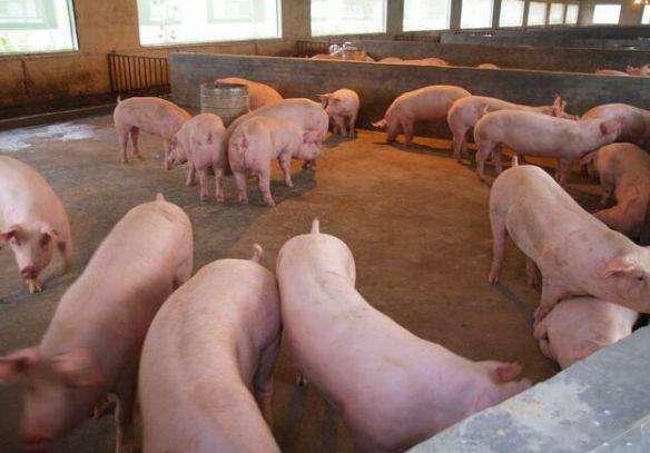 猪价上涨之后,养猪想赚钱这4个禁忌一定要重视,避免今后吃亏!