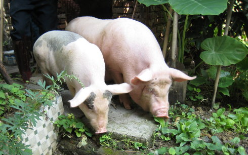 母猪的产后护理:母猪产后恶露怎么办?