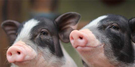 越南与美国合作研制非洲猪瘟疫苗!越方20个非洲猪瘟病毒样本已寄出