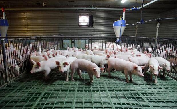 仔猪做定点排便难吗?想训练仔猪定点排便,老养殖户给你支个招