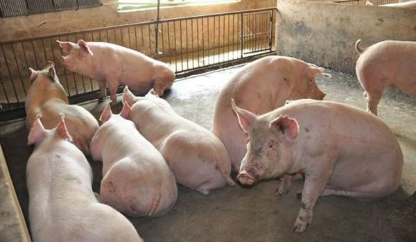 葡萄糖、小苏打,两个调味品在猪场妙用