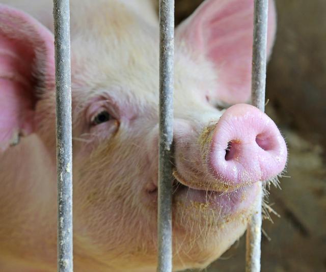 观察母猪是否怀孕你有神马招?想学习,走进文章老养殖户给你支招
