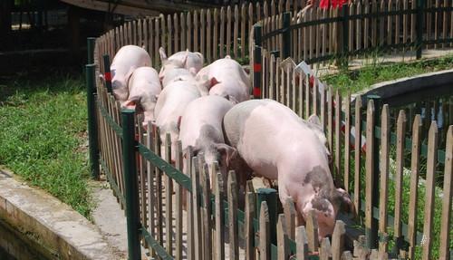 疫情扰动下的2020年生猪市场展望