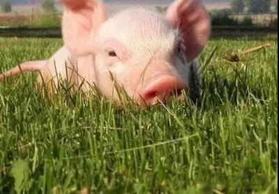 春季养猪,养猪人必须重点关注的四个方面!