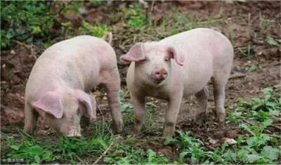 31500万应急贷款支持企业向市场投放生猪6万头!