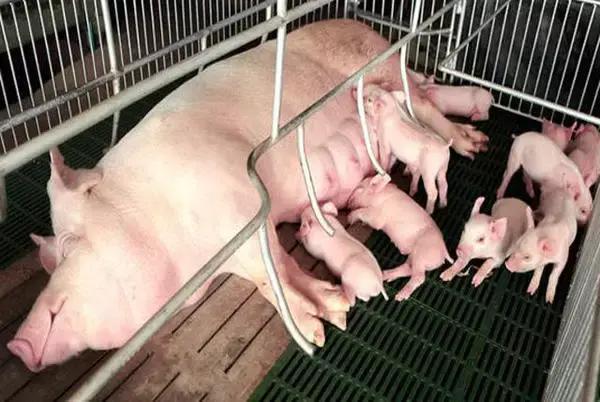 母猪饲养门道这么多,现代母猪饲养管理目标建议