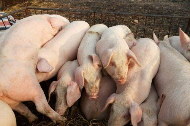 仔猪篇:初生仔猪护理八大点,做好才能有效提高成活率