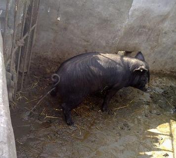 看猪排尿动作及尿液就诊断猪病,神奇