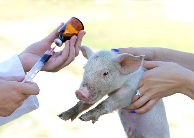 实用技术——基层养猪场对猪常见疾病的检疫及防治