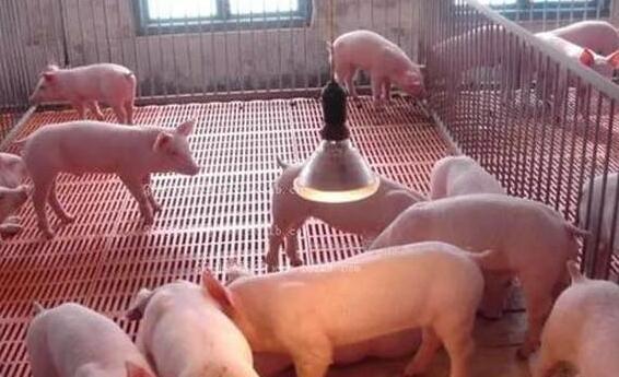 """春季,外购小猪一定要注意饲养管理的""""五个要点"""""""