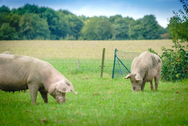 养猪要学会青饲料发酵喂猪的方法