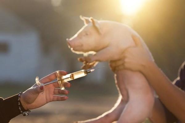 猪场打蓝耳疫苗有应激,看这家猪场如何解决的?
