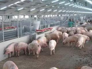 猪场的批次管理---现今养猪生产唯一实用的生产方式