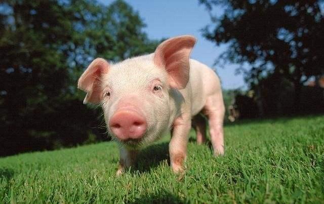 猪场生物安全,你需要关注的一些关点