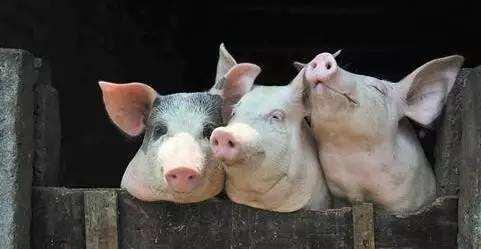 2月18日生猪价格走势分析:继续下跌回调,随着交通的恢复局地有下跌风险
