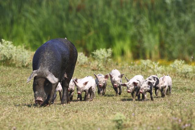 新生仔猪存活率98%,如何饲养母猪能做到正确饲养管理!