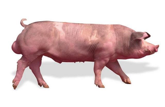 猪场饲养管理公猪篇:会用公猪,也要养好公猪