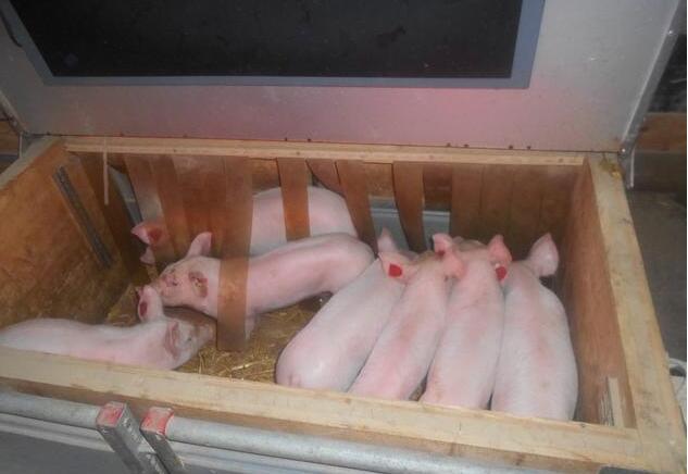 无抗养猪产房,用自由栏到底好不好?