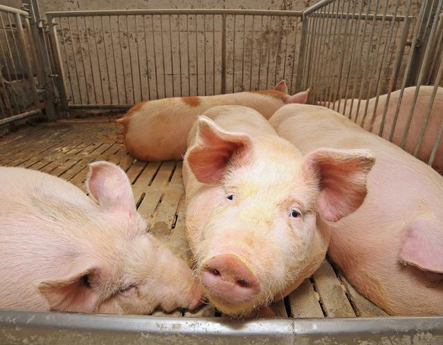 猪链球菌病的临床诊断与防治