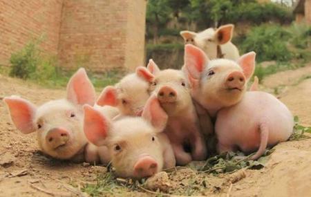 2月18日全国各省市仔猪价格报价表,据网友报价显示,某地7公斤仔猪涨到1900元/头