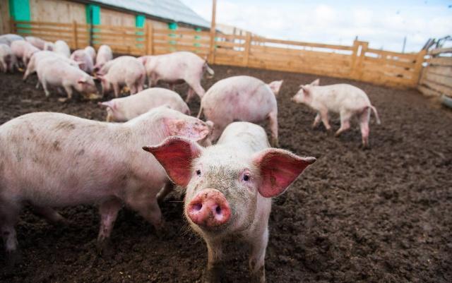 2月19日全国生猪价格土杂猪报价表,今日全国土杂猪涨跌互现!