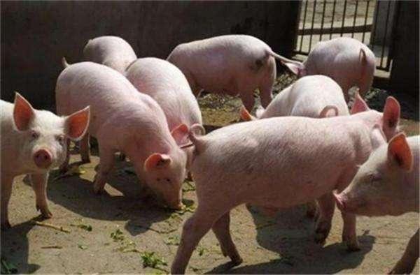 全国猪价支撑地区大片下跌,猪价难以为继