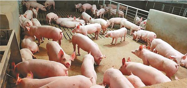 2月20日生猪价格走势分析,继续小幅下跌,猪价上涨还得看猪肉消费量的恢复