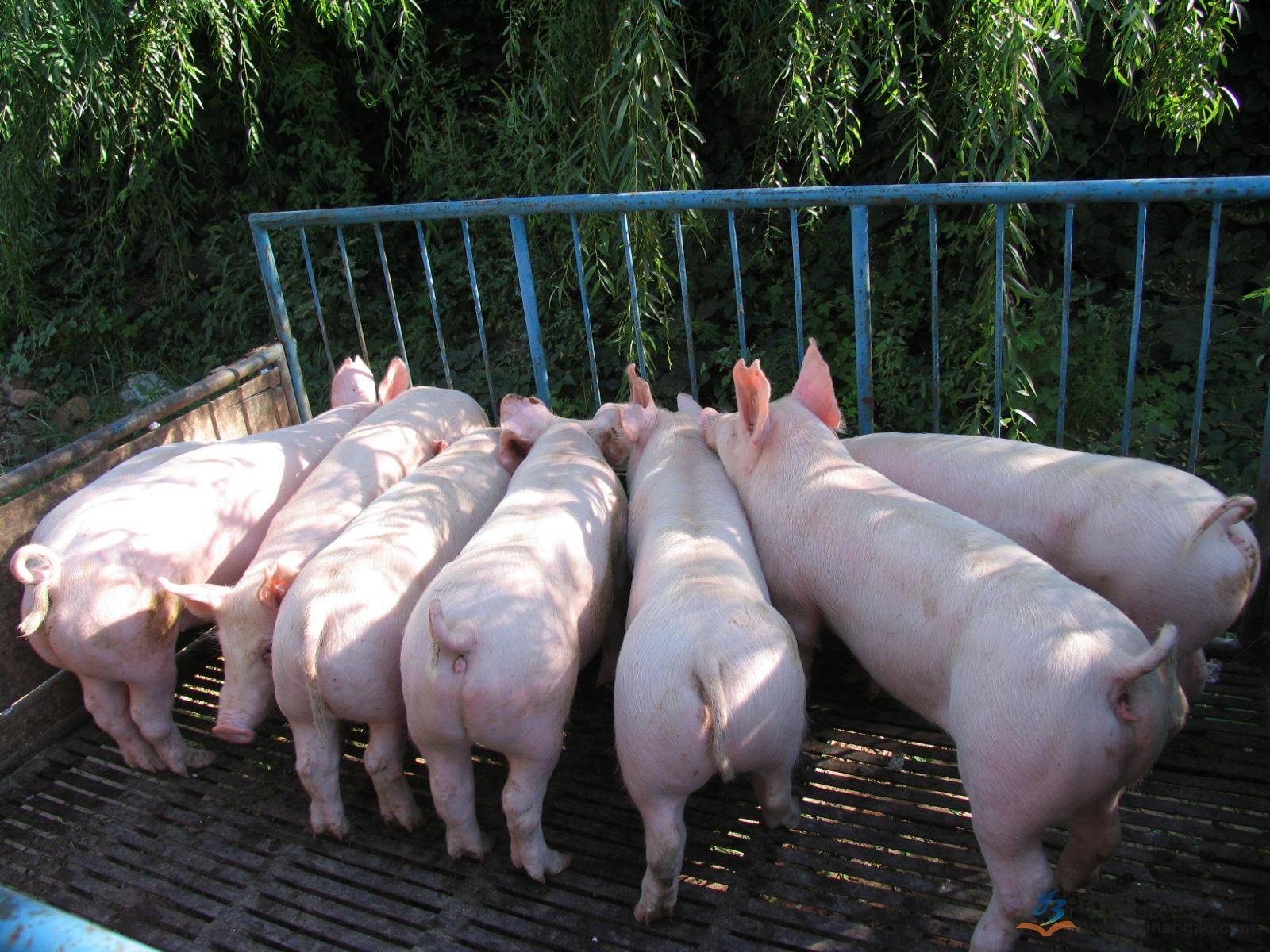 2月20日全国各地区种猪价格报价表,种猪价格依然在高位运行!