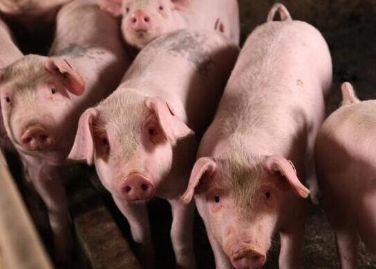2月20日全国生猪价格内三元报价表,生猪跨省调运增加,高价区猪价继续滑落!
